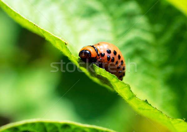 Potato bug Stock photo © badmanproduction