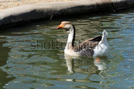 Swimming duck Stock photo © badmanproduction