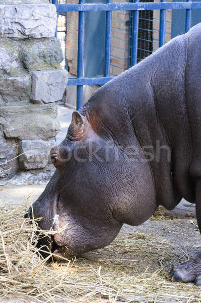 Hippo eating  Stock photo © badmanproduction
