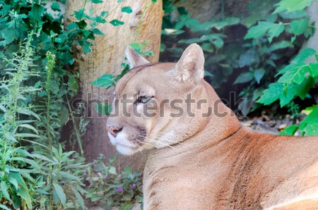 Chilling puma Stock photo © badmanproduction