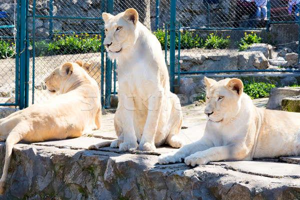 заблокированный три женщины белый лев зоопарке Сток-фото © badmanproduction