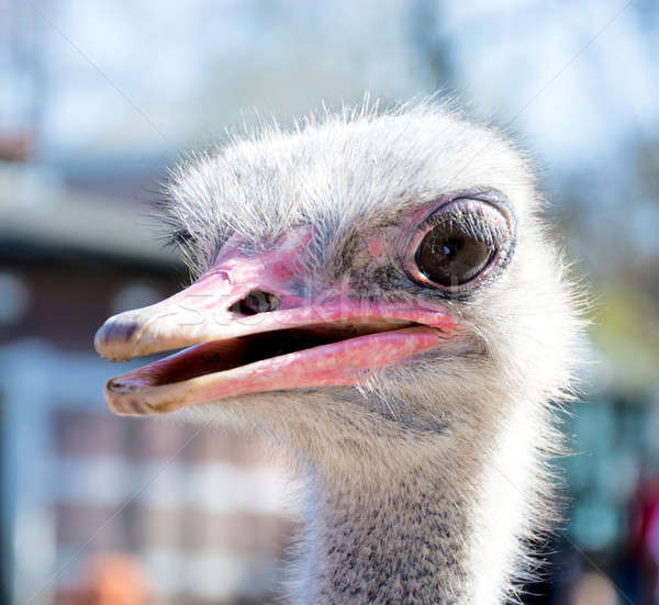 Head of ostrich Stock photo © badmanproduction