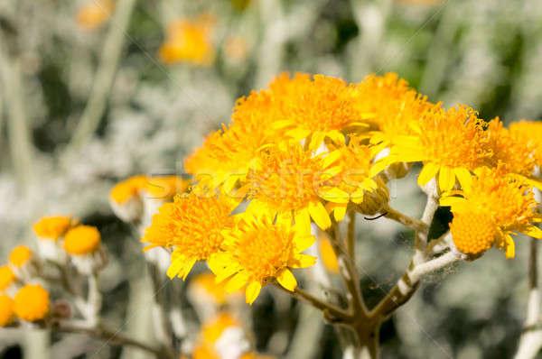 Yellow flower Stock photo © badmanproduction