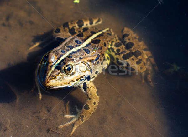 Közelkép béka nagy víz szem szemek Stock fotó © badmanproduction