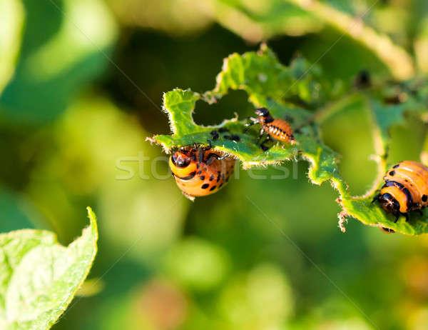 Potato beetles Stock photo © badmanproduction