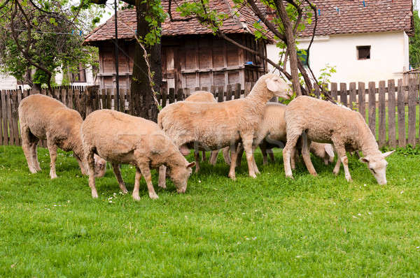 Group of sheeps Stock photo © badmanproduction