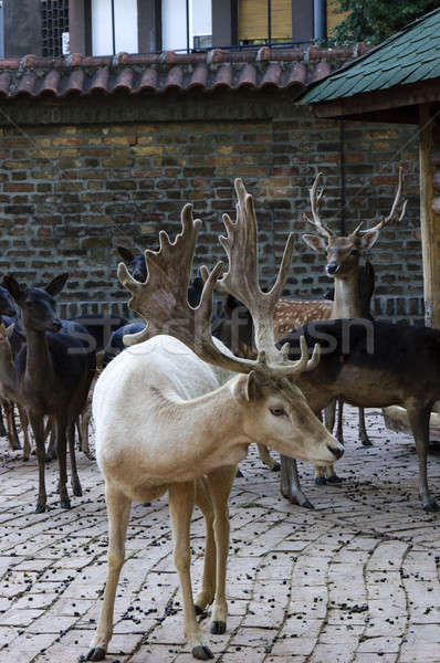 Deers Stock photo © badmanproduction