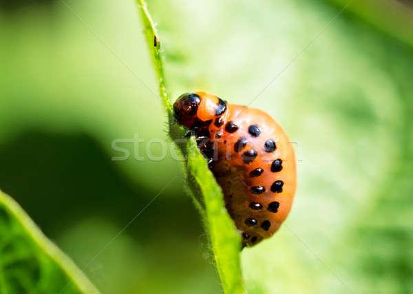 Potato bug on leaf Stock photo © badmanproduction