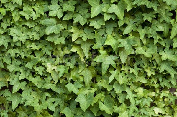 Ivy muro muro di mattoni texture natura foglia Foto d'archivio © Balefire9