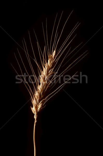 Single stalk of wheat against black Stock photo © Balefire9
