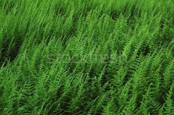 Green ferns Stock photo © Balefire9