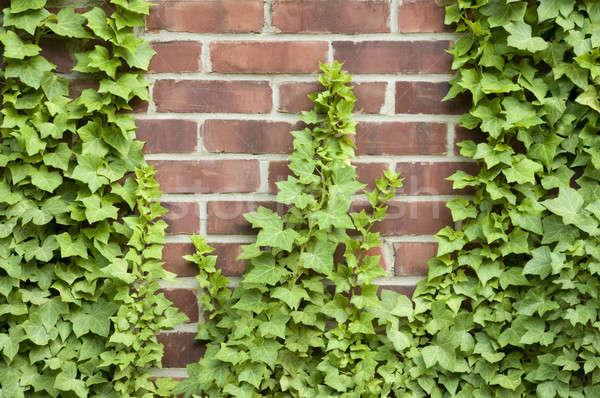 Ivy growing up a brick wall Stock photo © Balefire9