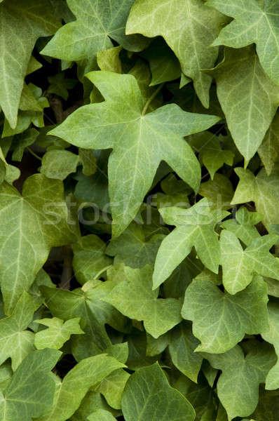 Bluszcz ściany murem pionowy tekstury charakter Zdjęcia stock © Balefire9