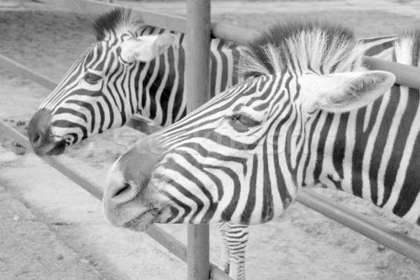 зебры пару фон Африка черный голову Сток-фото © Bananna