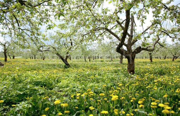 весны саду цветы лет области горизонте Сток-фото © Bananna