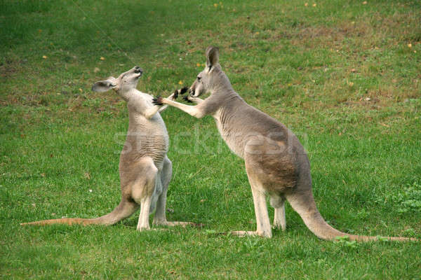 kangaroo boxing Stock photo © Bananna