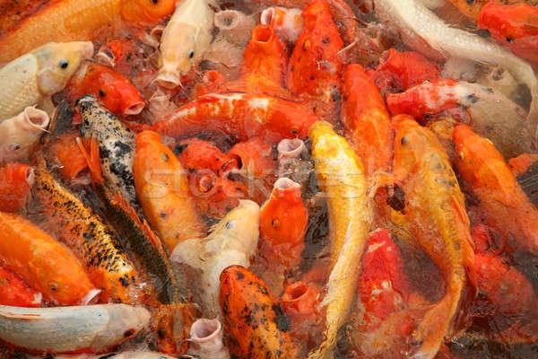 Koi vis kleurrijk water tuin meer Stockfoto © Bananna