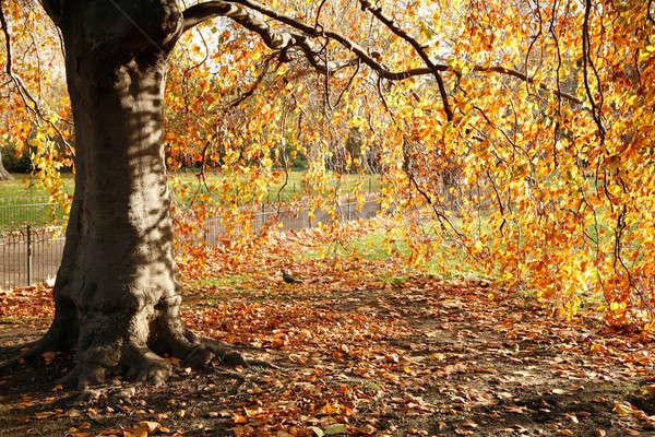 Złoty drzewo tle piękna jesienią tapety Zdjęcia stock © Bananna