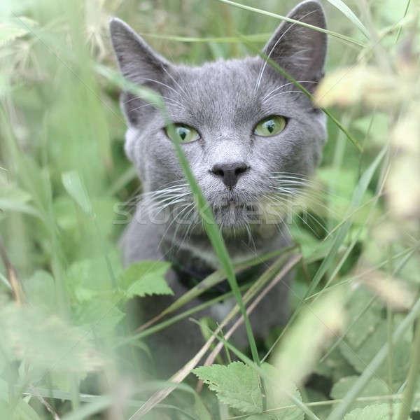 серый кот портрет зеленый луговой глаза Сток-фото © Bananna