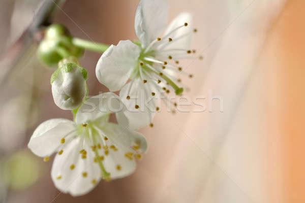 桜 春 桜 新鮮な いい 桜 ストックフォト © Bananna