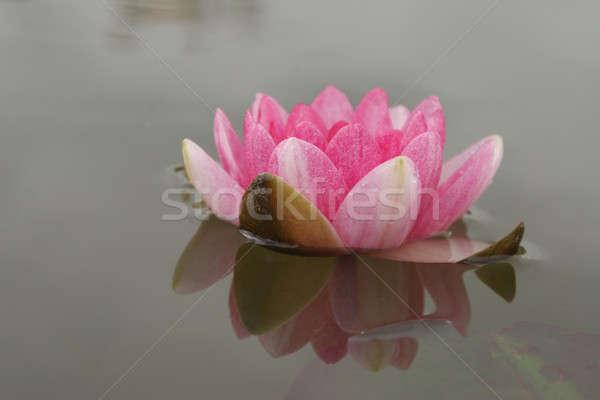 água lírio flor rosa natureza folha Foto stock © Bananna
