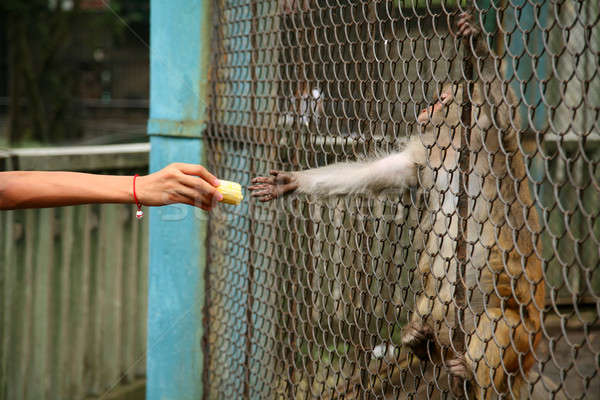 обезьяны клетке продовольствие кукурузы животного Сток-фото © Bananna