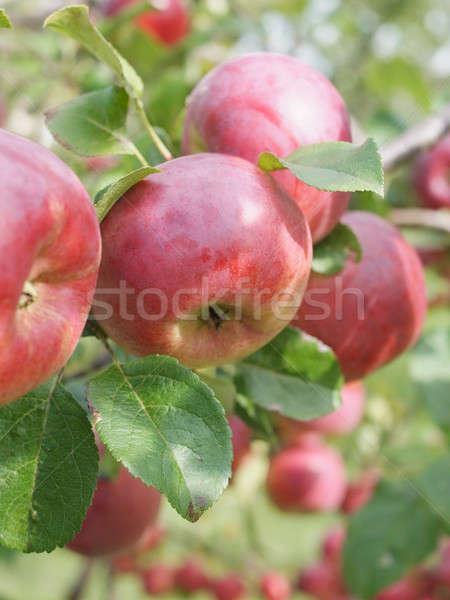 яблоко урожай универсальный дерево фрукты саду Сток-фото © Bananna