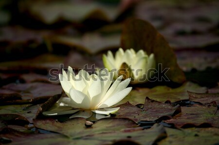 Wody lilia powierzchnia kwiat sztuki roślin Zdjęcia stock © Bananna