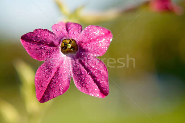 Purple tobacco-plant flower with fresh morning dew Stock photo © Bananna