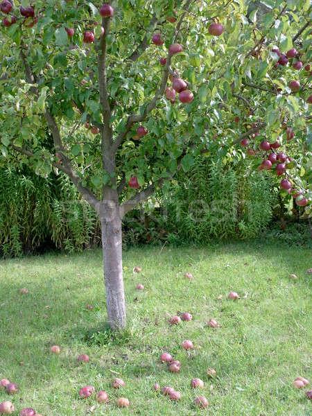 зрелый яблони красное яблоко дерево яблоко фрукты Сток-фото © Bananna