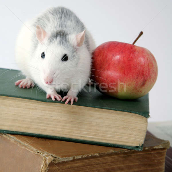 rat on pile of books with apple Stock photo © Bananna