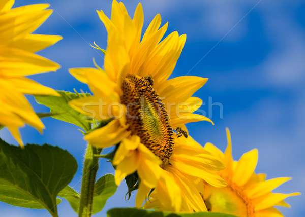Honingbij werk bijenkorf oogst stuifmeel Stockfoto © barabasa