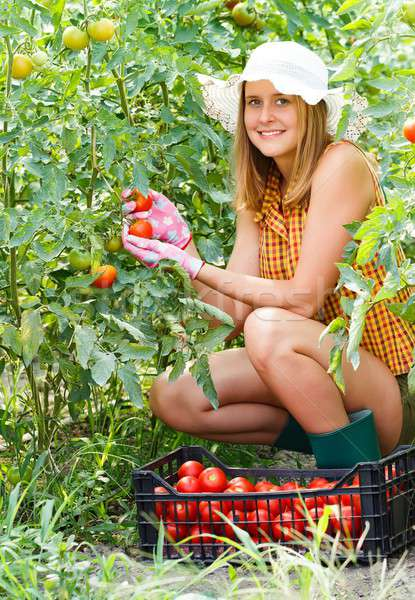 Woman Harvesting Tomatoes Stock photo © barabasa