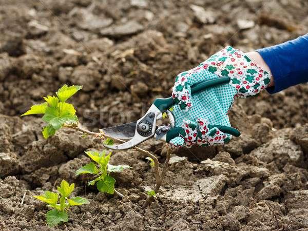 作業 太陽 庭園 土壌 茂み 成長 ストックフォト © barabasa
