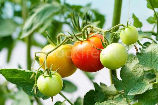 Saudável tomates cultura maduro tomates Foto stock © barabasa