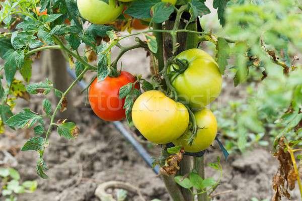 Saludable tomate cultura crudo maduro tomates Foto stock © barabasa