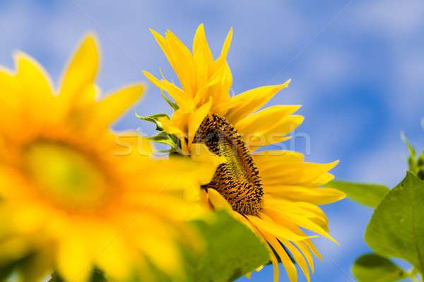 Healthy  helianthus annuus Stock photo © barabasa
