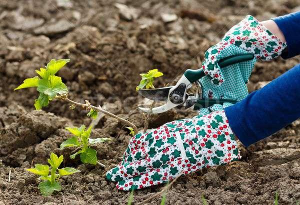 ブドウ 幹 ガーデニング 手 太陽 ストックフォト © barabasa