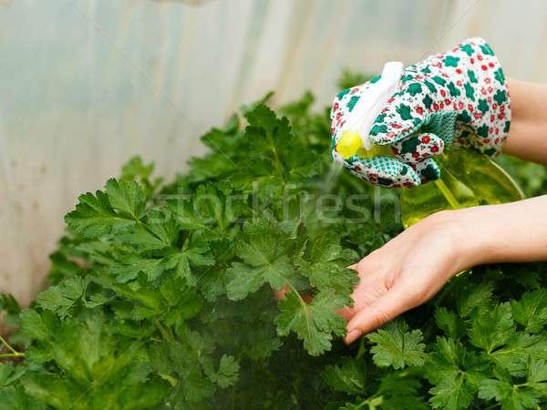 Parsley Bush Watering Stock photo © barabasa