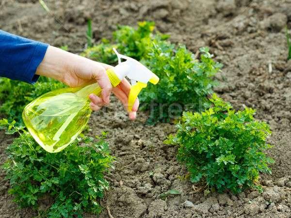 春 干ばつ 植木屋 水まき パセリ 水 ストックフォト © barabasa