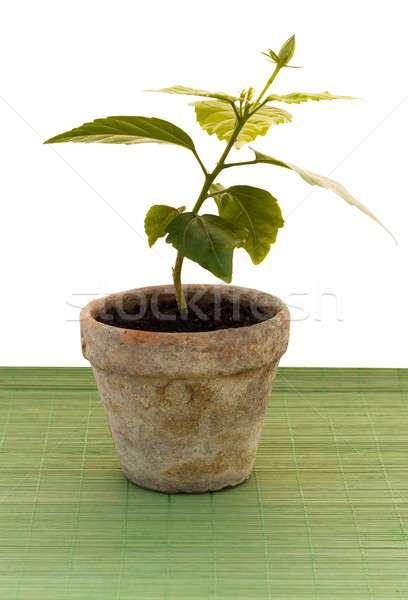 Kırılgan küçük bitki yalıtılmış beyaz Stok fotoğraf © barabasa