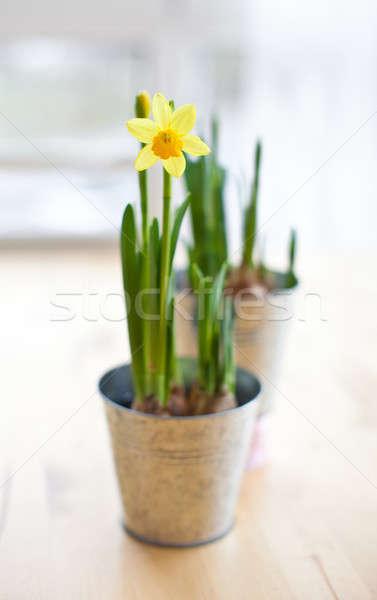 Daffodil in bloom Stock photo © BarbaraNeveu