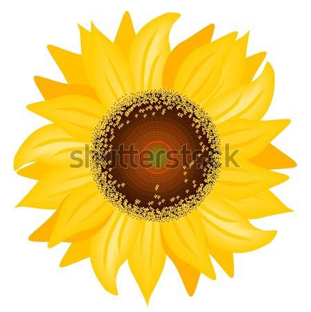 подсолнечника иллюстрация красивой белый цветок желтый Сток-фото © BarbaRie