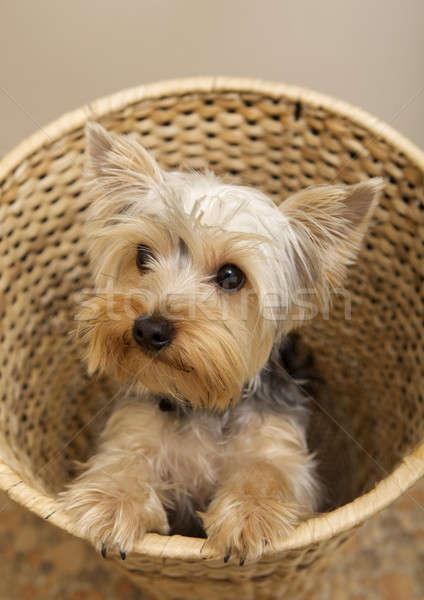 Stock fotó: Yorkshire · terrier · kutyakölyök · szeretet · haj · fehér