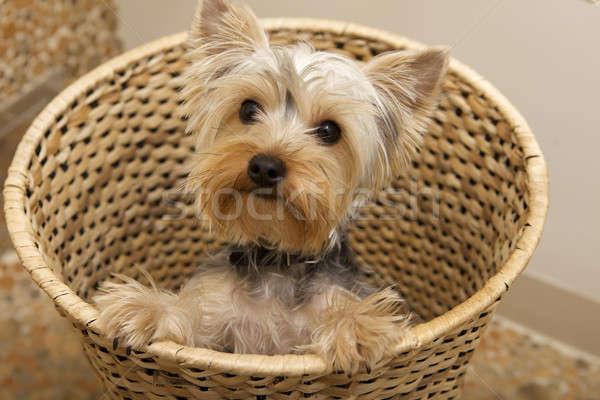 Foto stock: Yorkshire · terrier · cachorro · amor · pelo · blanco