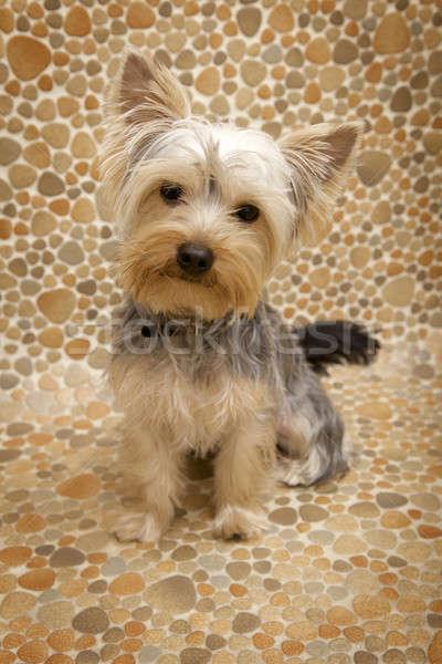 Yorkshire terrier chiot amour cheveux blanche Photo stock © bartekwardziak