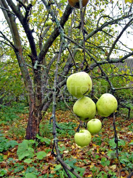 Manzana rama árboles sol naturaleza hoja Foto stock © basel101658
