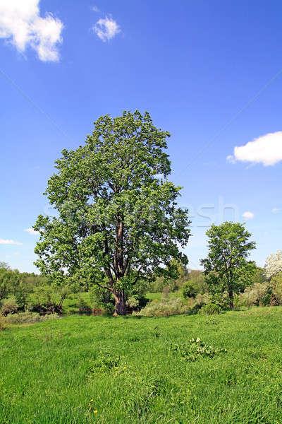 Berk veld hemel voorjaar gras zomer Stockfoto © basel101658