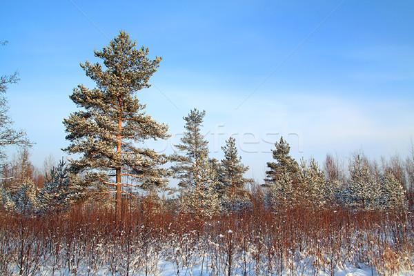 Pino nieve cielo forestales sol invierno Foto stock © basel101658