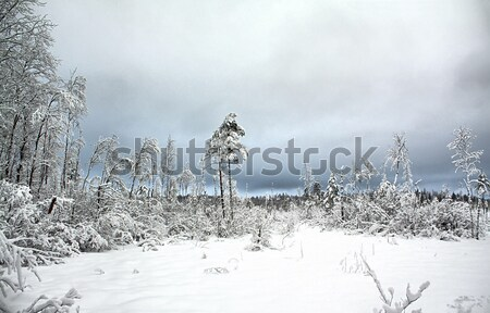 tree in snow Stock photo © basel101658